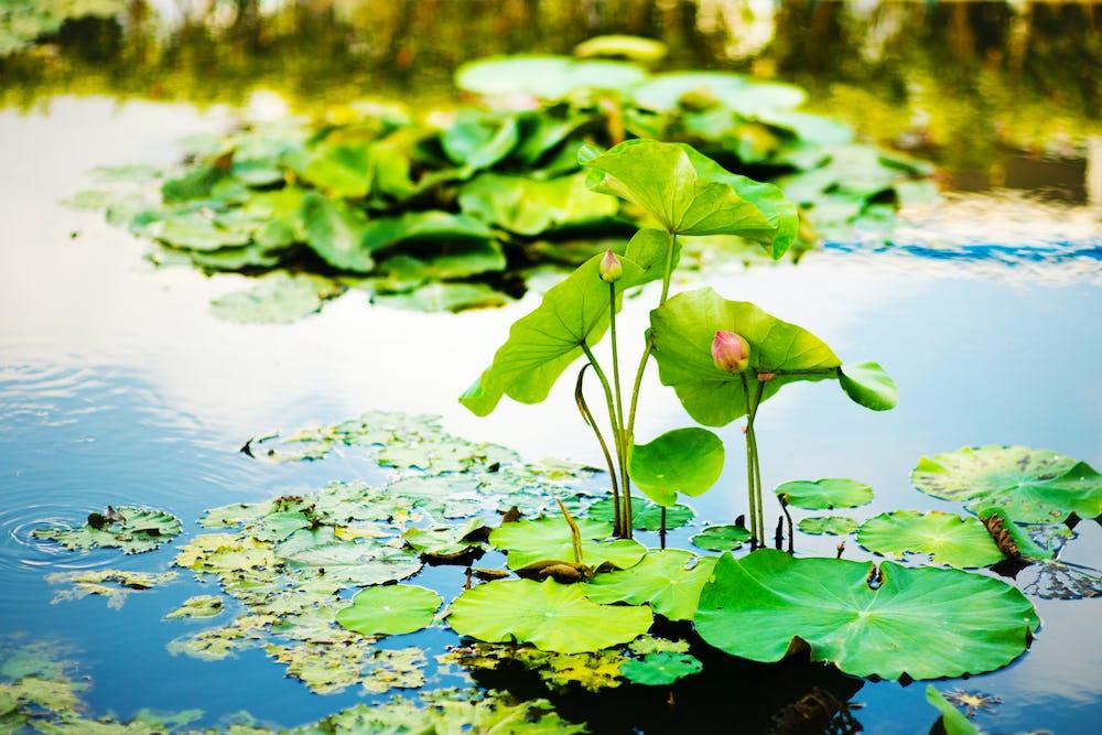 Waterlily Lake In Baile Felix